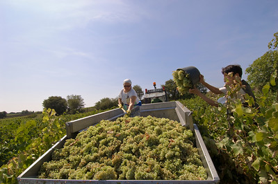 Europe, France, Provence, Chateauneuf-du-Pape, famous vineyards, picking grapes, harvest