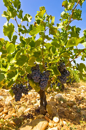 Europe, France, Provence, Chateauneuf-du-Pape, famous vineyards
