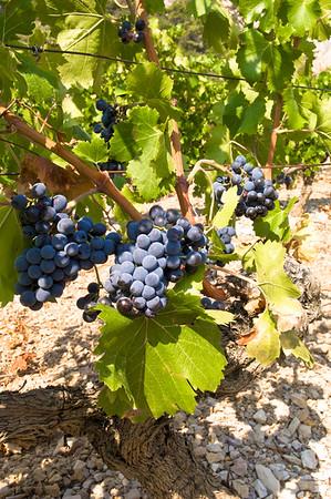Europe, France, Provence, Dentelles de Montmirail, vineyards
