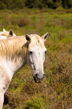 Europe, France, Provence, Camargue, white horses