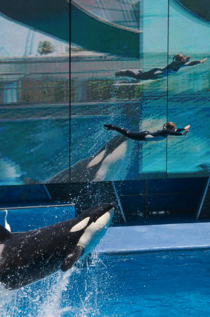 Killer-whale show, Seaworld theme park, Orlando, Florida, United States of America