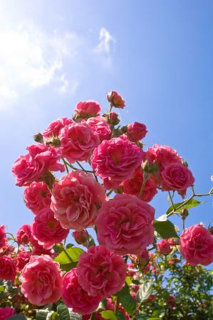 Europe, Bulgaria, Valley Of The Roses, Kazanluk, Festival Of the Roses, Kazanluk is a capital of the rose growing region in between Balkan Range and the Sredna Gora