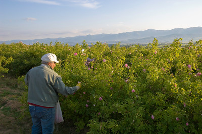 Europe, Bulgaria, Valley Of The Roses, local farmers working their field during rose harvest in the village near Kazalnuk