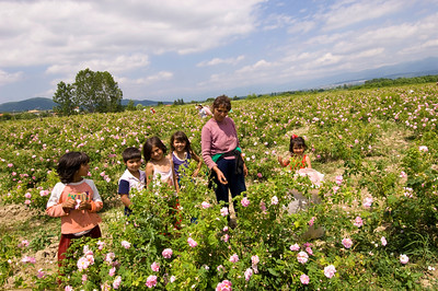 Europe, Bulgaria, Valley Of The Roses, Kazanluk, Festival Of the Roses, Kazanluk is a capital of the rose growing region in between Balkan Range and the Sredna Gora Local children, many of them Gipsies, are helping out their parents during rose harvest