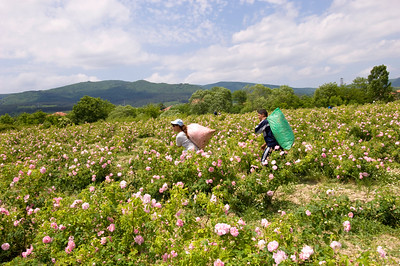 Europe, Bulgaria, Valley Of The Roses, Kazanluk, Festival Of the Roses, Kazanluk is a capital of the rose growing region in between Balkan Range and the Sredna Gora Local farmers, many of them Gipsies work on rose fields during harvest