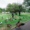 8 15 20 Lynn Common geese