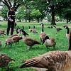 8 15 20 Lynn Common geese 1
