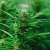 01945 Fall21 marijuana farm 13