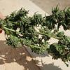 01945 Fall21 marijuana farm 1