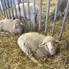 Merino sheep(David S. Glasier/The News-Herald)
