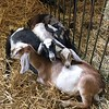 Goats cuddling in pen (David S. Glasier/The News-Herald)