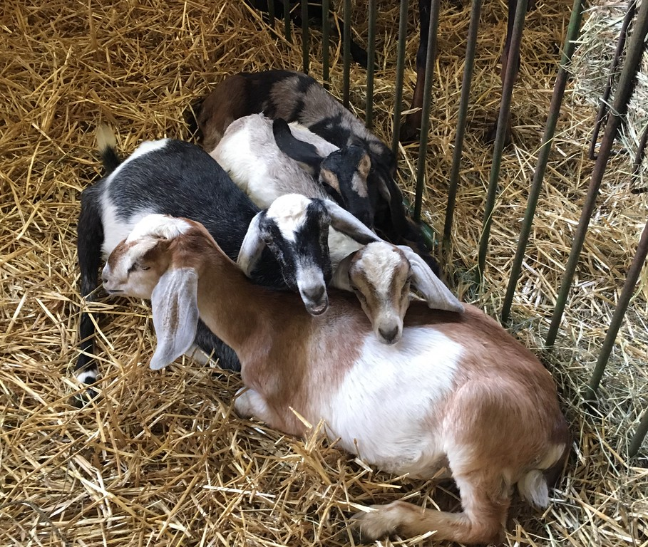 . Goats cuddling in pen (David S. Glasier/The News-Herald)