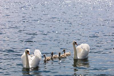 Family of swans, Gizycko, Great Mazurian Lakes, Poland