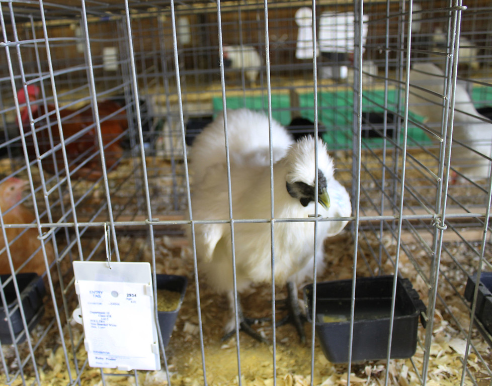 . Kailee Leonard � The News-Herald <br> This silkie watches the crowds coming in and out of the poultry and rabbit barn Wednesday evening.
