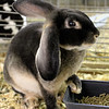Kailee Leonard — The News-Herald <br> The fair is filled with many opportunities to get up and close with several types of animals. This rabbit strikes a pose for attendees.