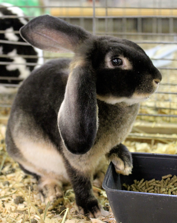. Kailee Leonard � The News-Herald <br> The fair is filled with many opportunities to get up and close with several types of animals. This rabbit strikes a pose for attendees.