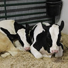 Kailee Leonard — The News-Herald <br> Two young calves take a rest on the opening day of the Lake County Fair 2016.