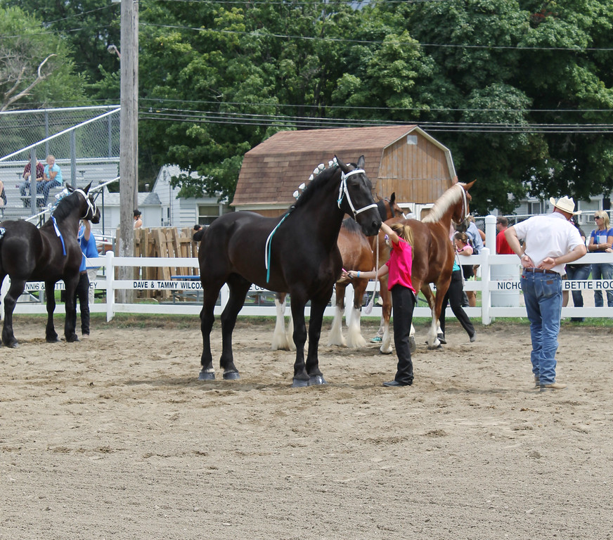 . Kailee Leonard � The News-Herald <br> The opening day at Lake County Fair held many competitions. One held in the morning was the draft horse halter classes. Here, a competitor \'sets up\' her horse for the judge.
