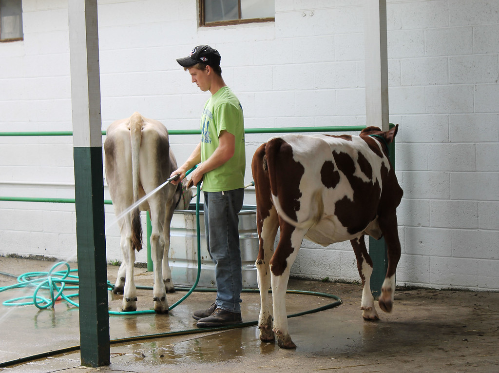. Kailee Leonard � The News-Herald <br> A 4H member prepares the hose to wash his cows Wednesday afternoon.