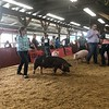 Briana Contreras — The Morning Journal <br> Grace Groot, 13, of Oberlin, competes in the senior class showmanship group with her pig Bacon during the Junior Fair Swine Show on Aug. 21, 2018.