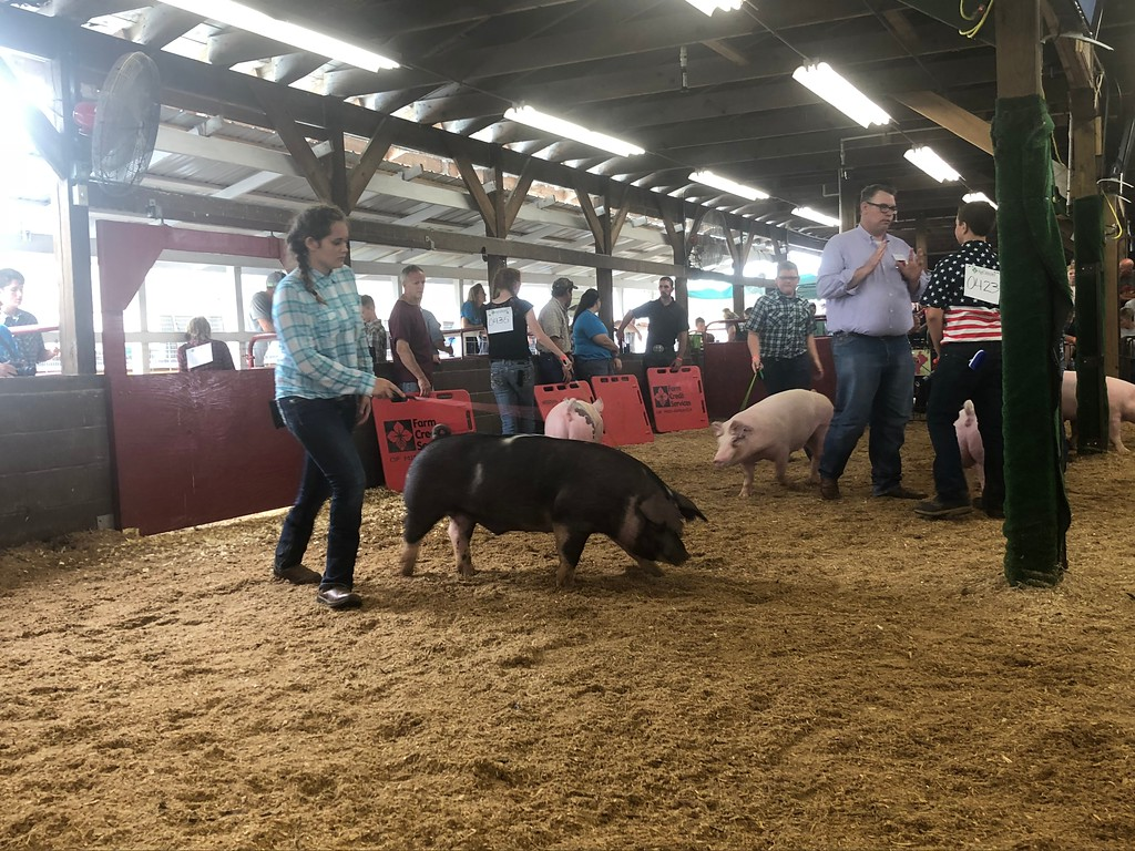 . Briana Contreras � The Morning Journal <br> Grace Groot, 13, of Oberlin, competes in the senior class showmanship group with her pig Bacon during the Junior Fair Swine Show on Aug. 21, 2018.