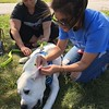 Richard Payerchin - The Morning Journal <br> Lorain County Dog Kennel volunteer Kristen Giardino of Avon checks the ears of Chucky, a 5-month-old English lab, while owner Ilona Dittler of Parma looks on Aug. 26, 2017, at the Lorain County Dog Kennel's first Dog Appreciation Day. The kennel had six dogs adopted and one claimed by its owner during the event, meant to connect families to new pets and raise awareness of the mission of the facility.