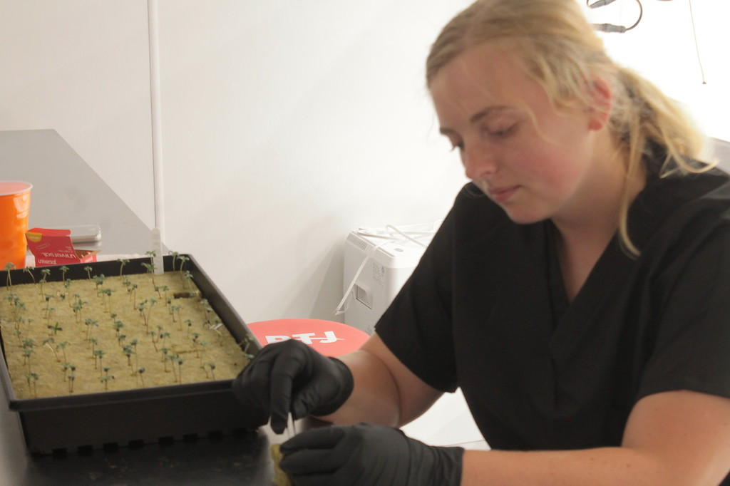 . Buckeye Relief Cultivation technician Allison Johnson works with  one week old medical marijuana plants. Kristi Garabrandt - The News-Herald