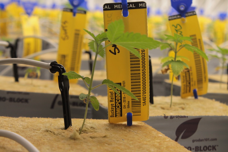 Plants have started to grow from seeds planted on July 31, at Buckeye Relief a medical marijuana cultivation facility in Eastlake .  Each plant is tag with a special METRC band that allows the plants to be tracked from seed to sale.