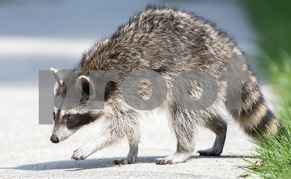 dcnews_082916_Raccoon_Chase_02