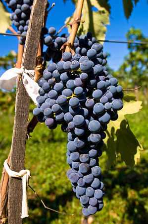 Vineyard near Madzharovo,Bulgaria