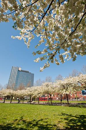Spring blossom in hammersmith, W6, London, United Kingdom