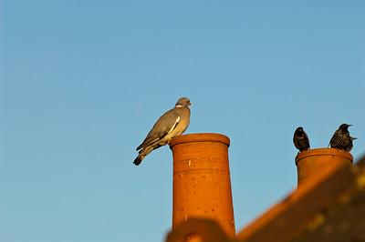 Birds on the roof, London, United Kingdom
