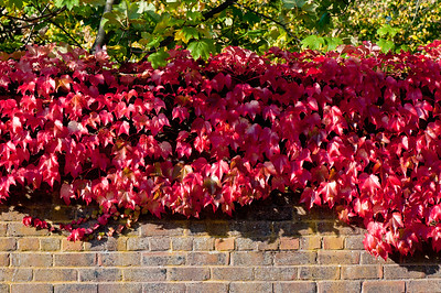 Ivy growing on the brick wall