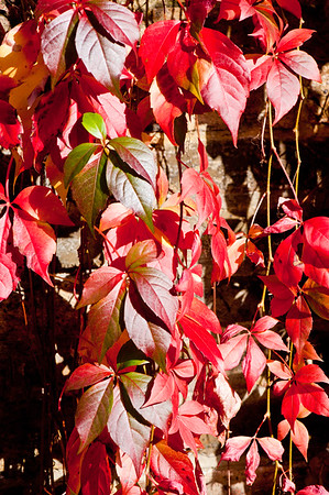 Ivy in autumn colours on brick wall, London, United Kingdom