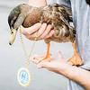 9 10 20 Nahant Cheerio the Duck honorary Historic Society 9