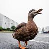 9 10 20 Nahant Cheerio the Duck honorary Historic Society 2