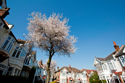 Spring blossom in Ealing, London, United Kingdom