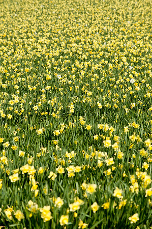 Field of deffadils, Cornwall, United Kingdom