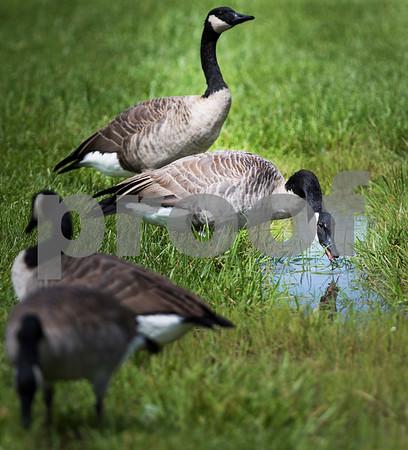 090716 Rainy Geese (MA)