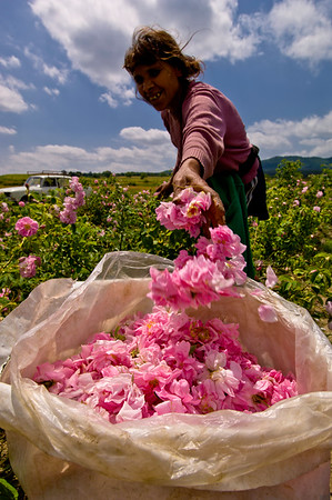 Europe, Bulgaria, Valley Of The Roses, Kazanluk, Festival Of the Roses, Kazanluk is a capital of the rose growing region in between Balkan Range and the Sredna Gora Farmers, many of them Gipsies, and their children working during rose harvest