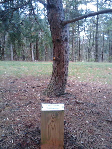 "The trail is lined with a ""library"" of native tree species, including this Virginia Pine.  The Thomas Jefferson Parkway (Route 53), part of the <a href=""http://www.byways.org/explore/byways/2343/directions.html"">Journey Through Hallowed Ground Byway</a>, serves as the scenic entrance to Monticello in Albermarle County, Virginia.  Developed by the Thomas Jefferson Foundation, the Parkway improvement project was a $6.5 million project that took place between 1996 and 2002 and involved the development of the <a href=""http://www.monticello.org/parkway/trail.html""> Saunders-Monticello Trail</a>, an <a href=""http://www.monticello.org/parkway/arboretum.html"">arboretum</a>, a 2-acre <a href=""http://www.monticello.org/parkway/pond.html"">pond</a>, and the <a href=""http://www.monticello.org/parkway/bridge.html"">Saunders Bridge</a>.  A $3.4 million TE grant, procured in 1992, along with private donations in the amount of $3.1 million provided funding for the Thomas Jefferson Parkway improvements."