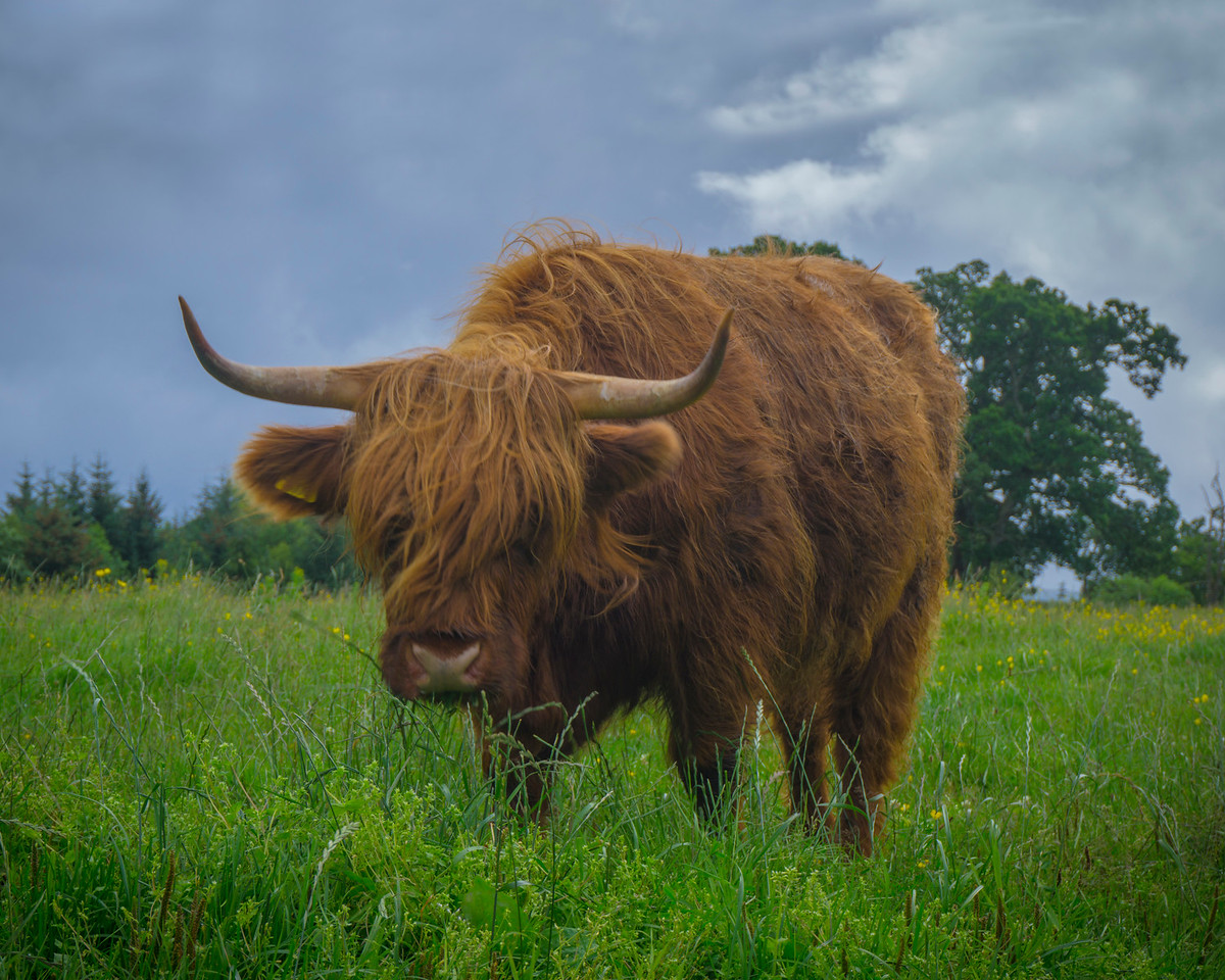 Highland Cow popping over for a visit, Scotland