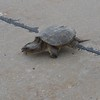 Yes I brake for Turtles!