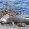 Elephant seal beach off hwy 1 north of Hearst castle