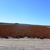 This is why I love taking the back roads - all the farm lands - here hatch chilis