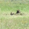 Grizzly momma and her two cubs standing over the buried bison.