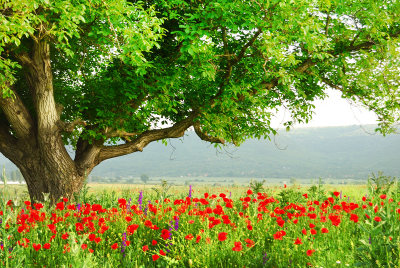 Poppy's field and big green tree