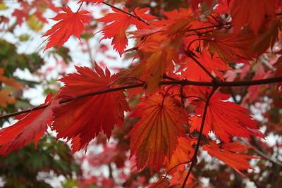 Acer japonicum 'Meigetsu' Foliage and Branching