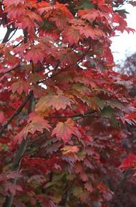 Acer japonicum 'Itaya', Specimen Foliage