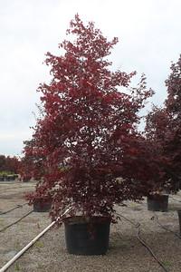 Acer palmatum 'Bloodgood' 3 5'' #100